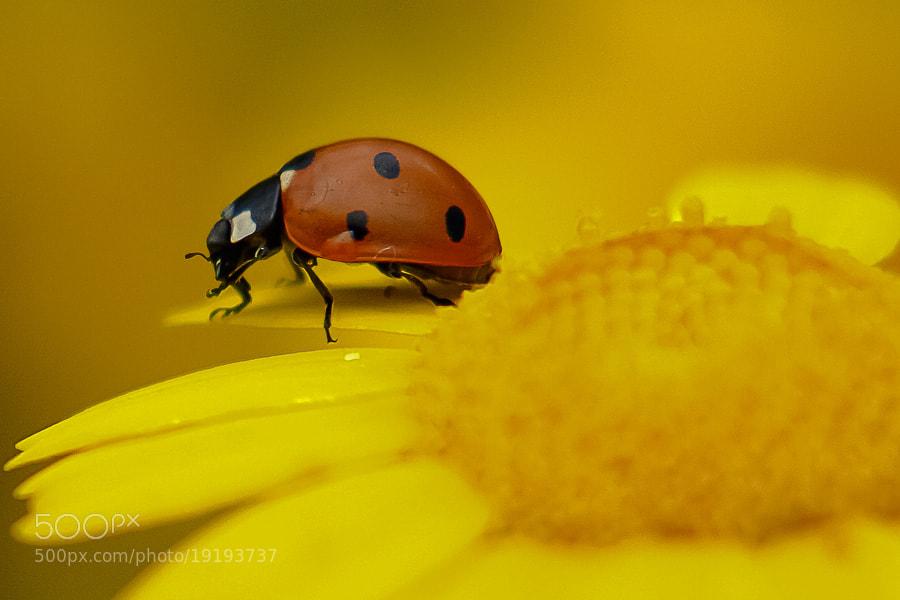 Photograph ladybird by Zeki Öztürk on 500px