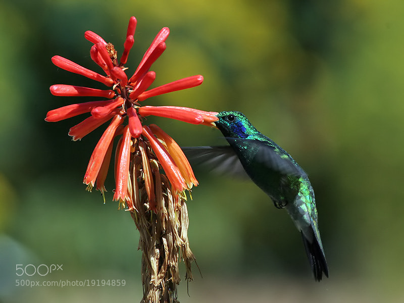 Photograph Dining Green-Violet Ear by Aat Bender on 500px