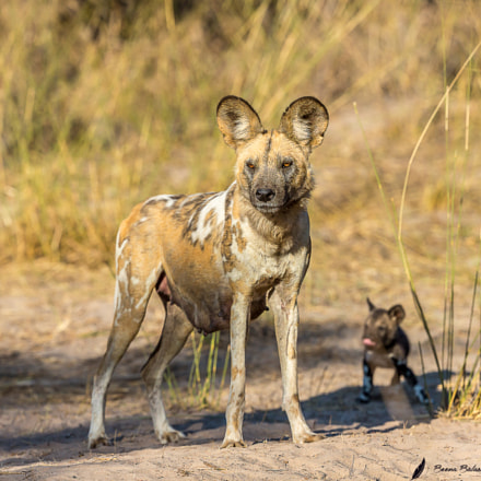 African painted dog, Canon EOS 5D MARK III, Canon EF 200-400mm f/4L IS USM