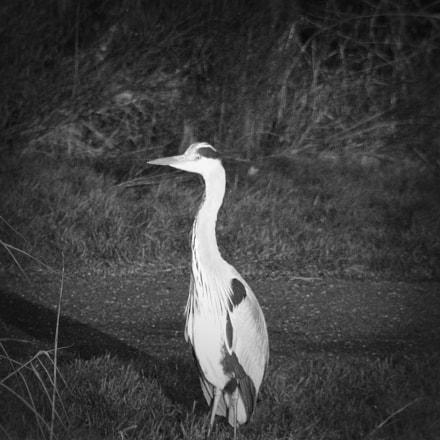 Patience of the Heron, Canon EOS REBEL T3I, Tamron AF Aspherical 28-200mm f/3.8-5.6