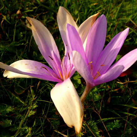 Autumn crocus, Panasonic DMC-TZ5