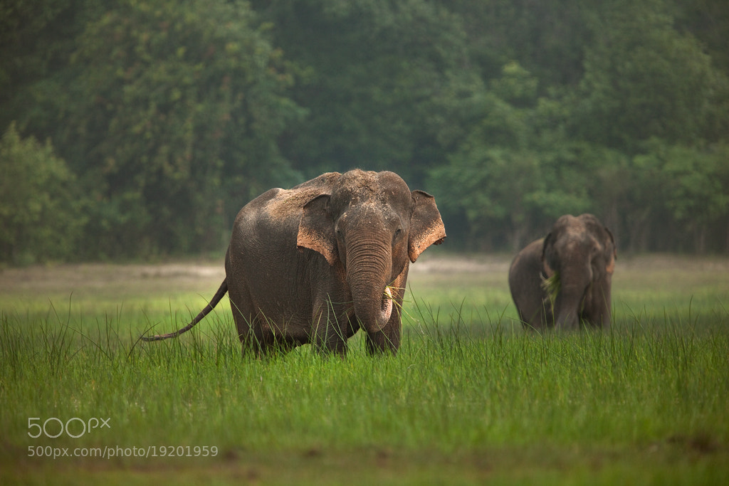 Photograph Elephas Maximus.... by Rohit Varma on 500px