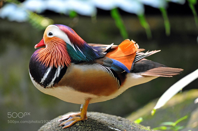 Photograph Mandarin Duck. by Ralph de Zilva on 500px