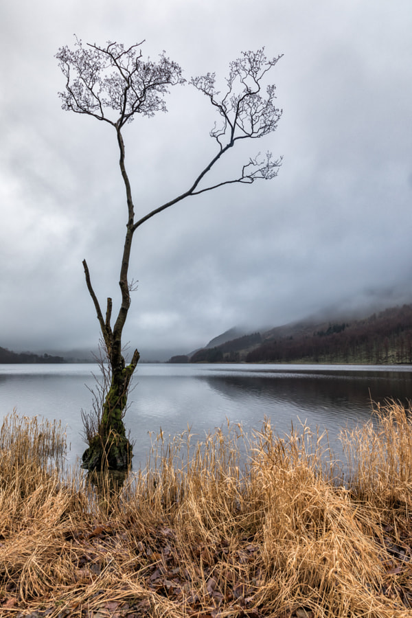 Buttermere tree 1