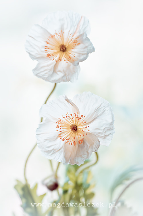 Photograph The White Papavers by Magda Wasiczek on 500px