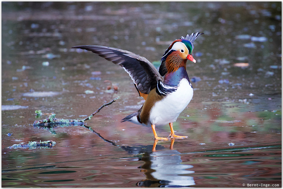 Mandarin Duck by Bernt-Inge Madsen on 500px.com