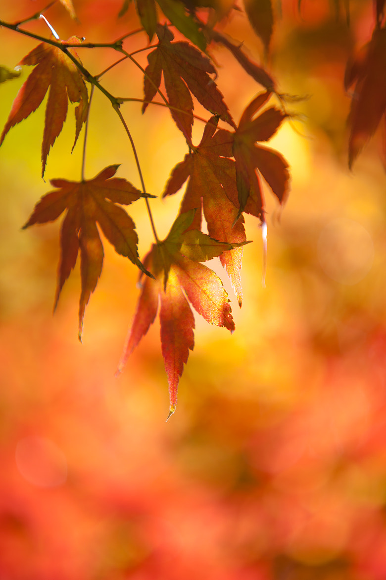 Photograph Red Leaves by Yoshihiro Imaizumi on 500px