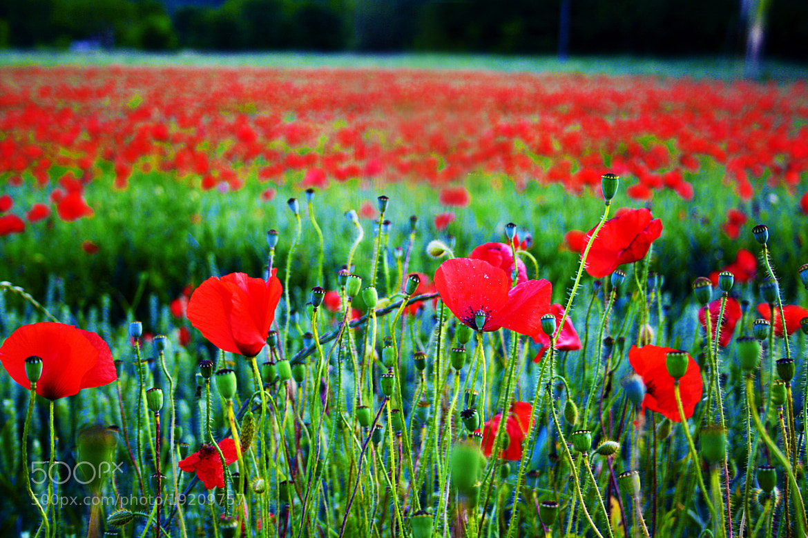 Photograph poppy 2 by antonio biancardi on 500px