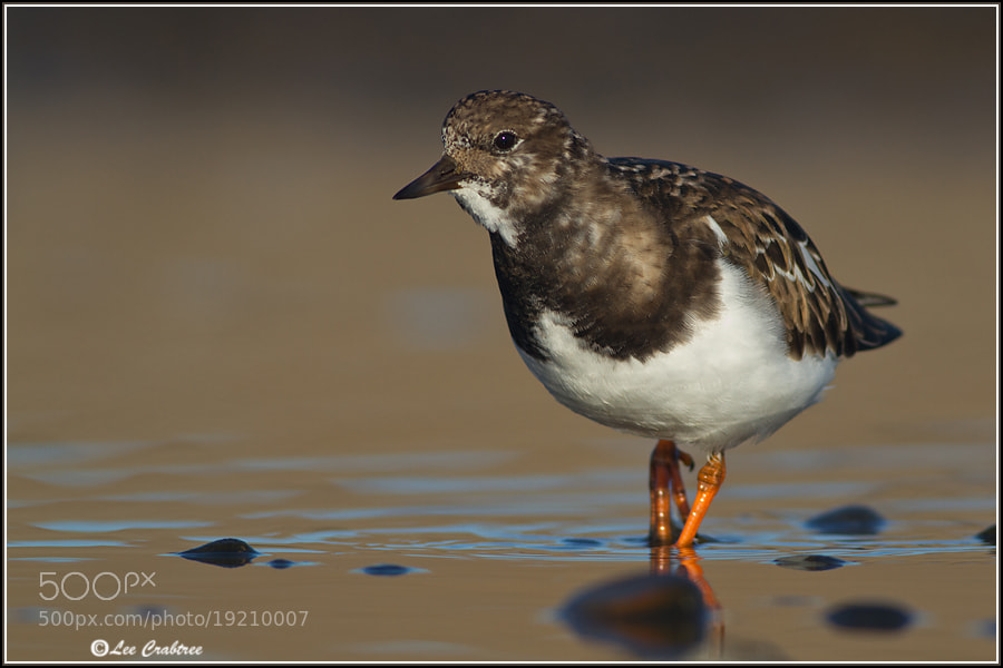 Photograph turnstone by Lee Crabtree on 500px