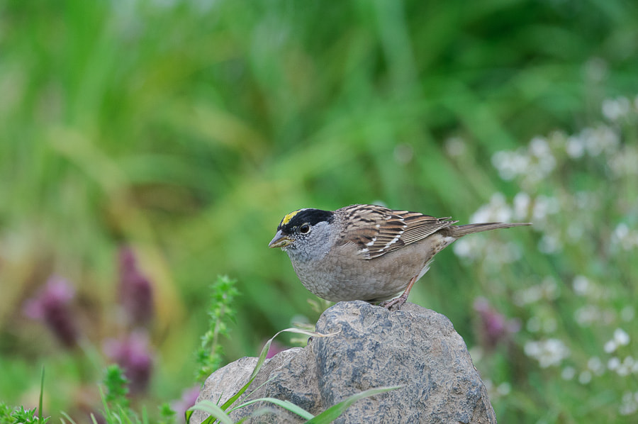 Photograph Golden-crowned Sparrow by Yuji Nishimura on 500px