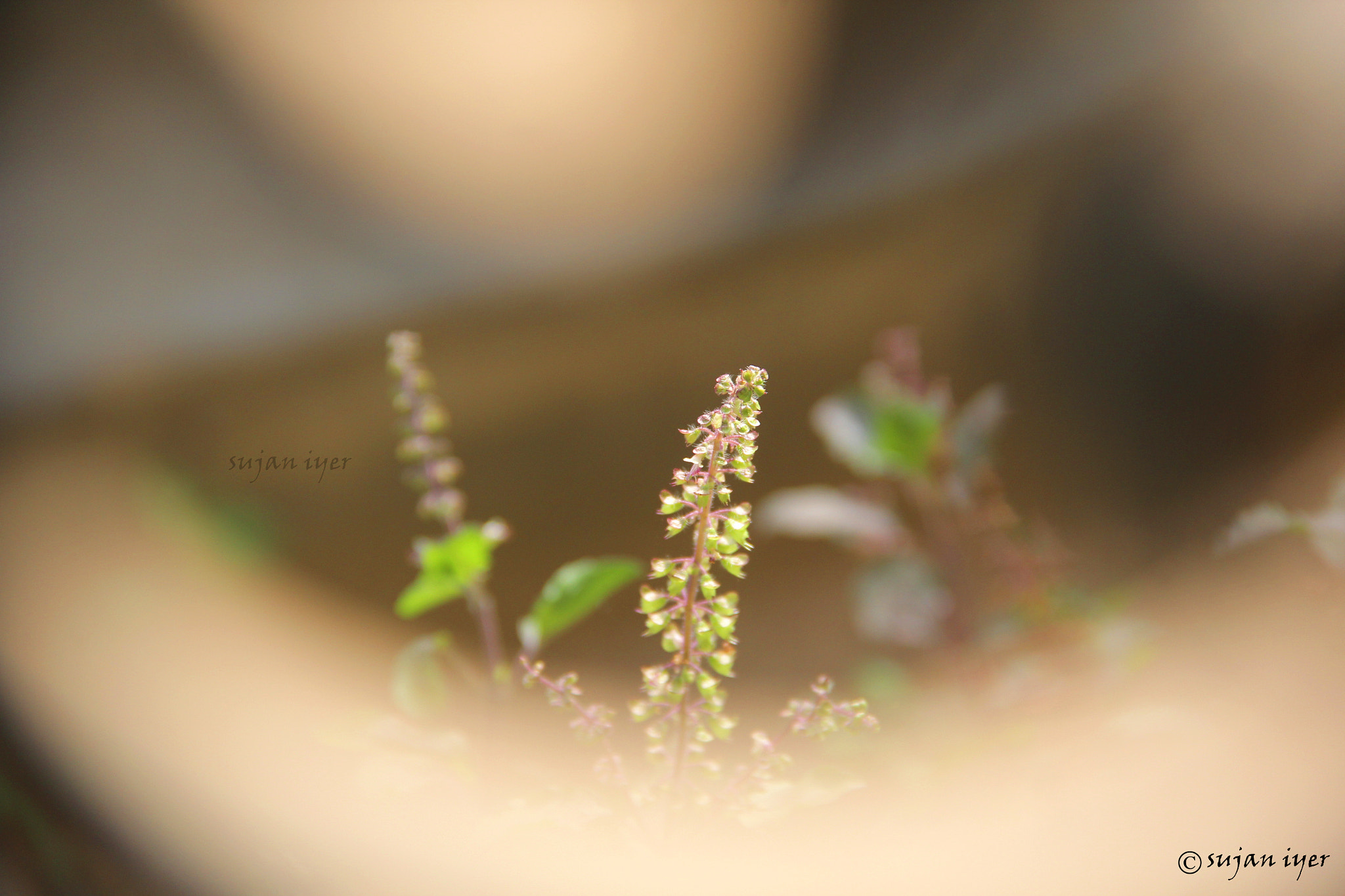 Photograph thulasi....... by Sujan Iyer on 500px