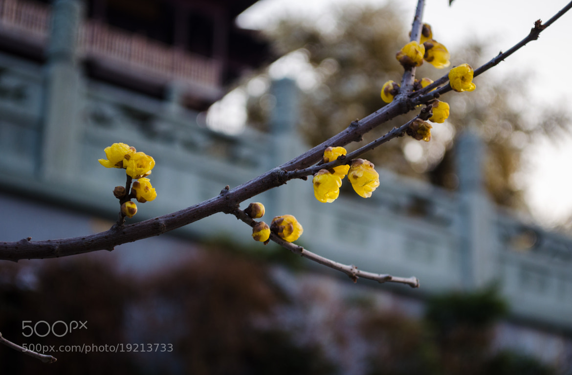 Photograph Wintersweet by Soleil Neon on 500px