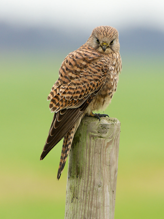 Photograph Common Kestrel (2) by Erik Veldkamp on 500px