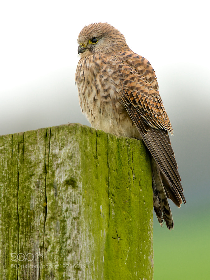 Photograph Common Kestrel (1) by Erik Veldkamp on 500px