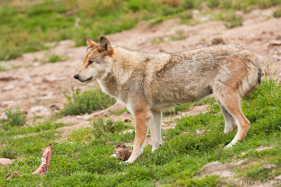 Photograph Wolf II by Laurent Staes on 500px
