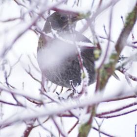Weibliche Amsel im Gestrüpp #Winterharz