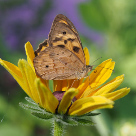 Banks' Brown Butterfly