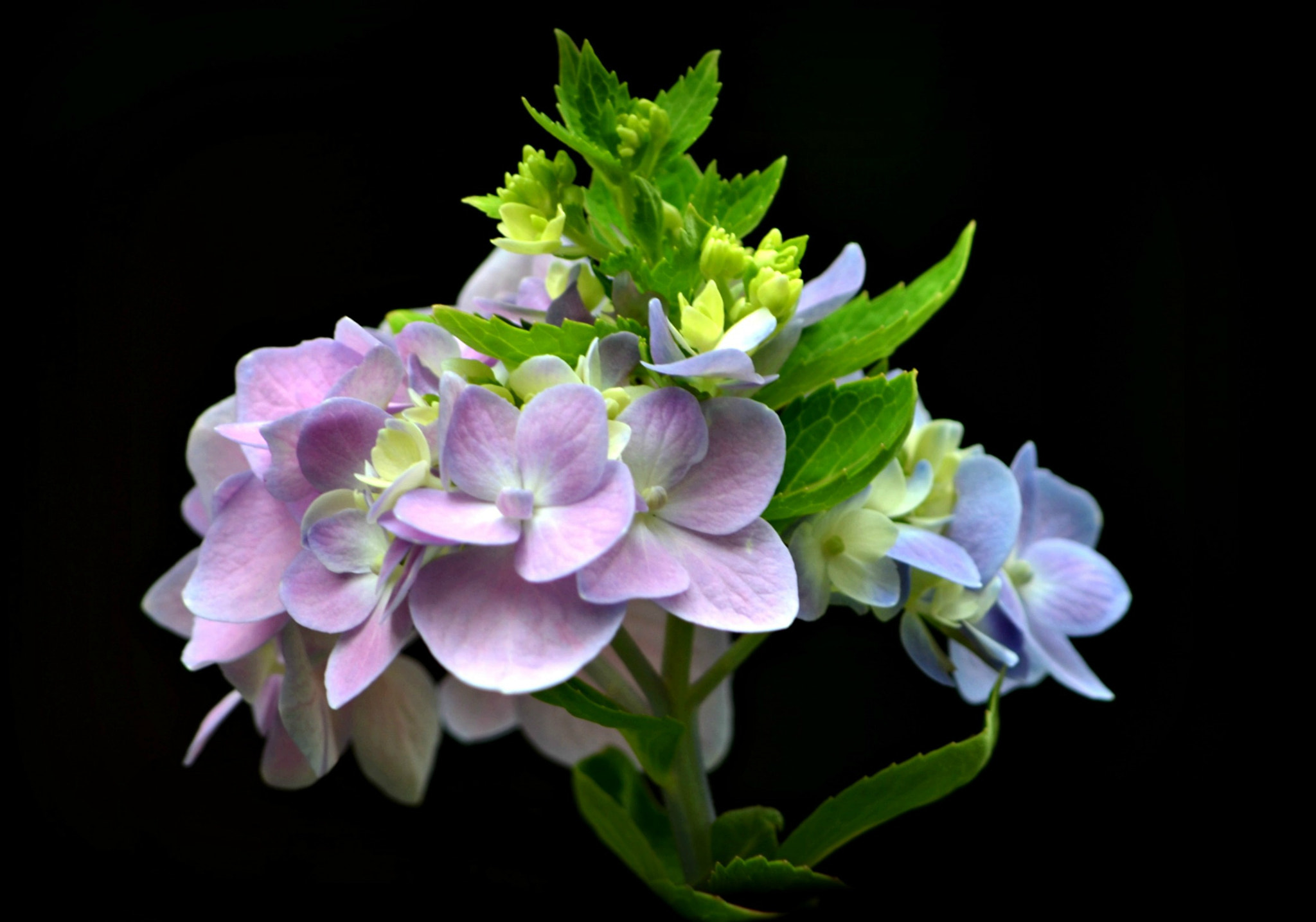 Photograph Hydrangea by Linda Y on 500px
