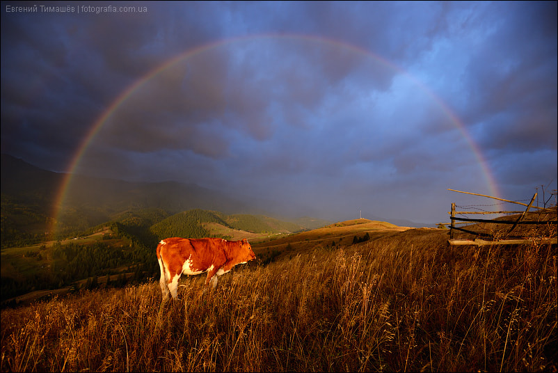 Photograph Cow and rainbow by Yevgen Timashov on 500px