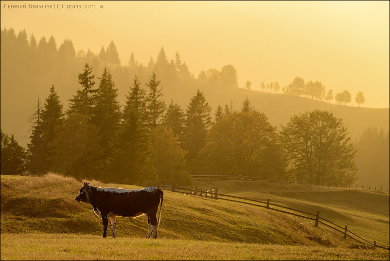 Photograph Morning cow by Yevgen Timashov on 500px