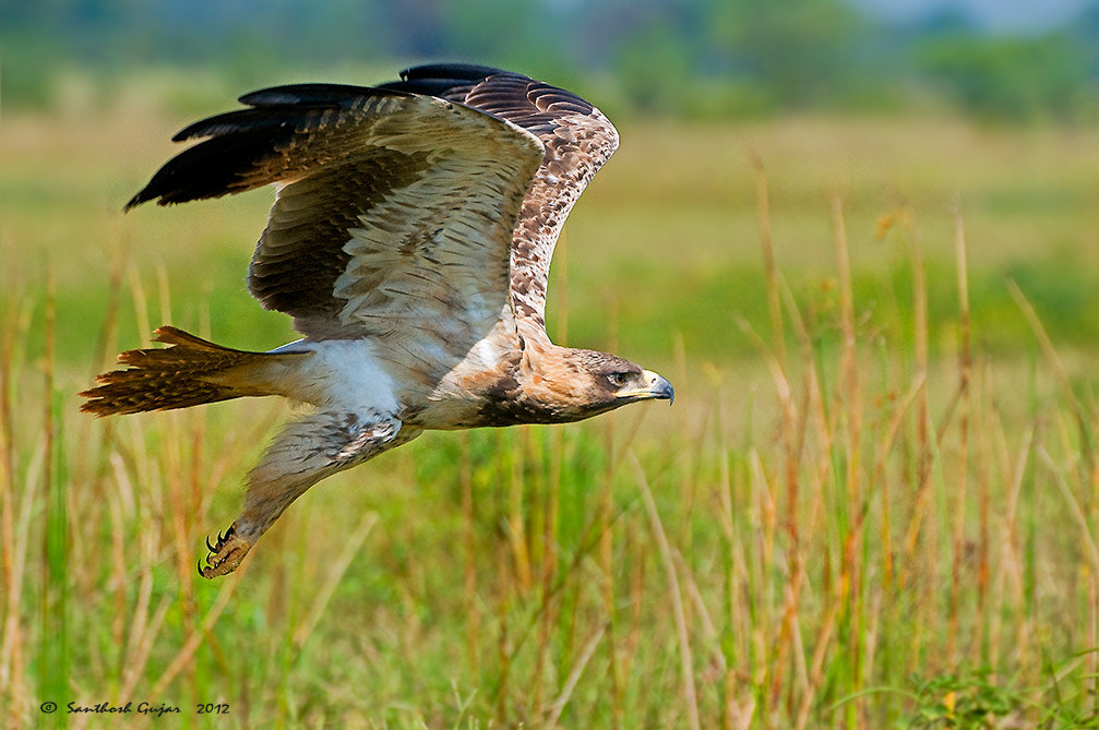 Photograph Tawny Eagle by Santhosh Gujar on 500px