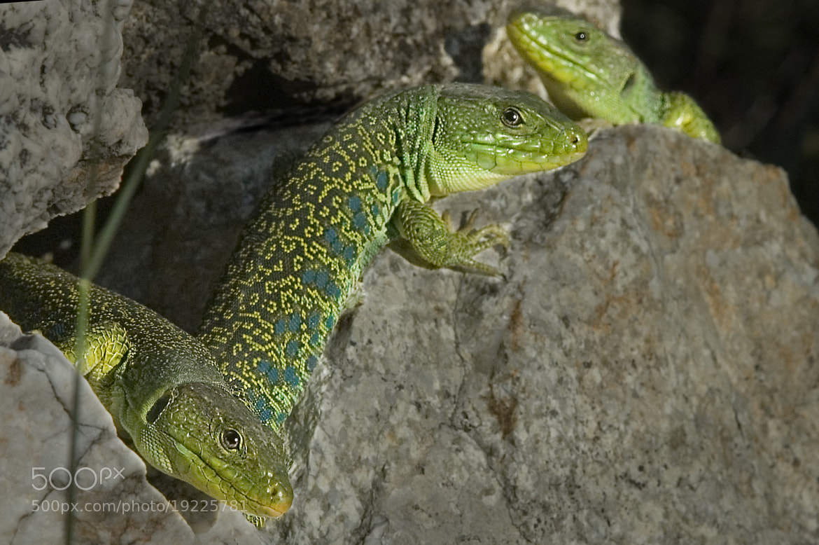 Photograph 3 Lézard ocellé by paco lala on 500px