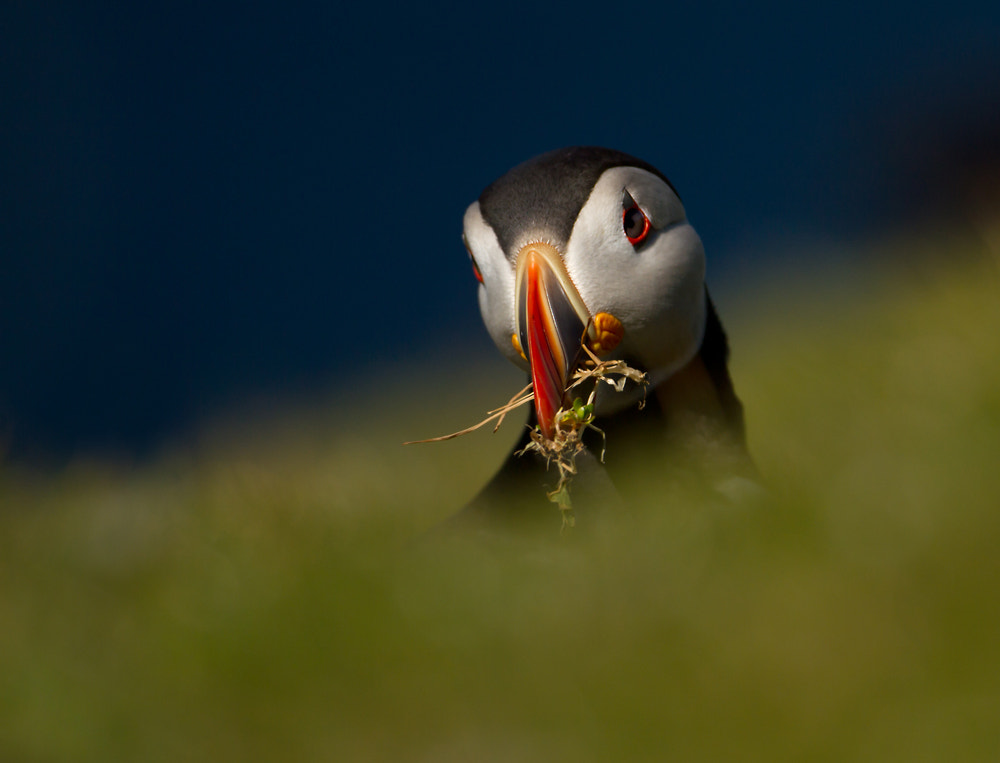 Photograph Busy Puffin by Giedrius Stakauskas on 500px