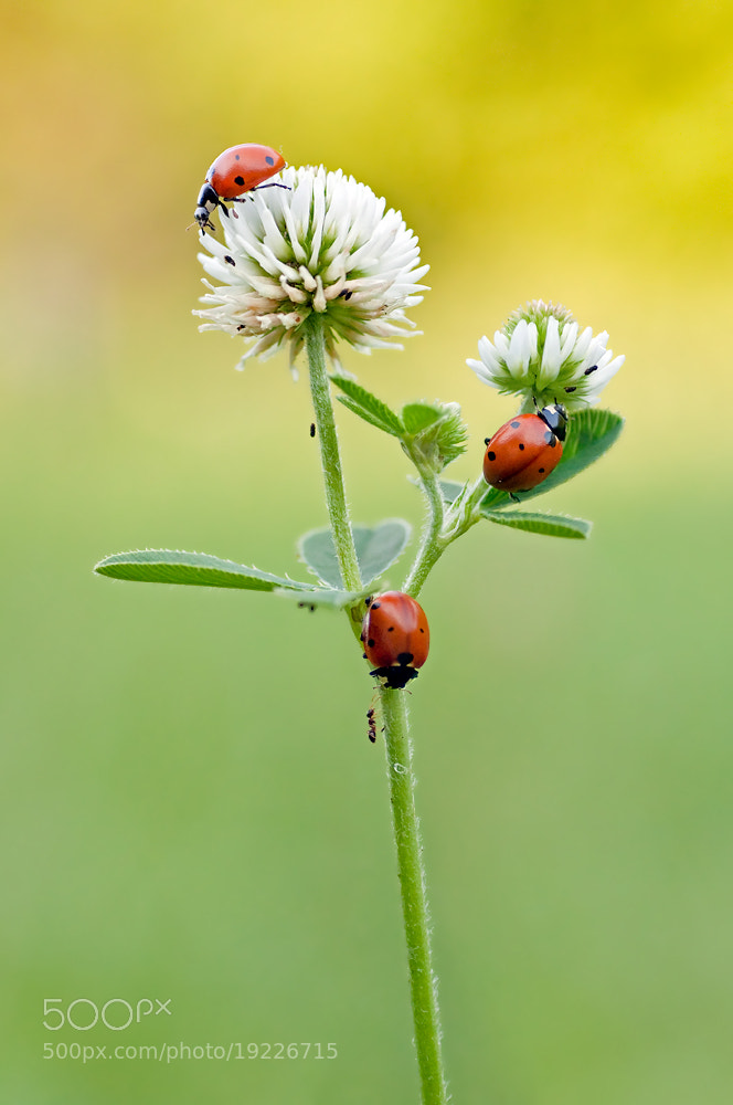 Photograph Ladybug by Karl Diewald on 500px