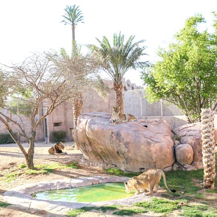 Lions in Al Ain Zoo, UAE.