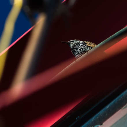 Starling, Canon EOS-1D C, Canon EF 70-200mm f/2.8L IS II USM