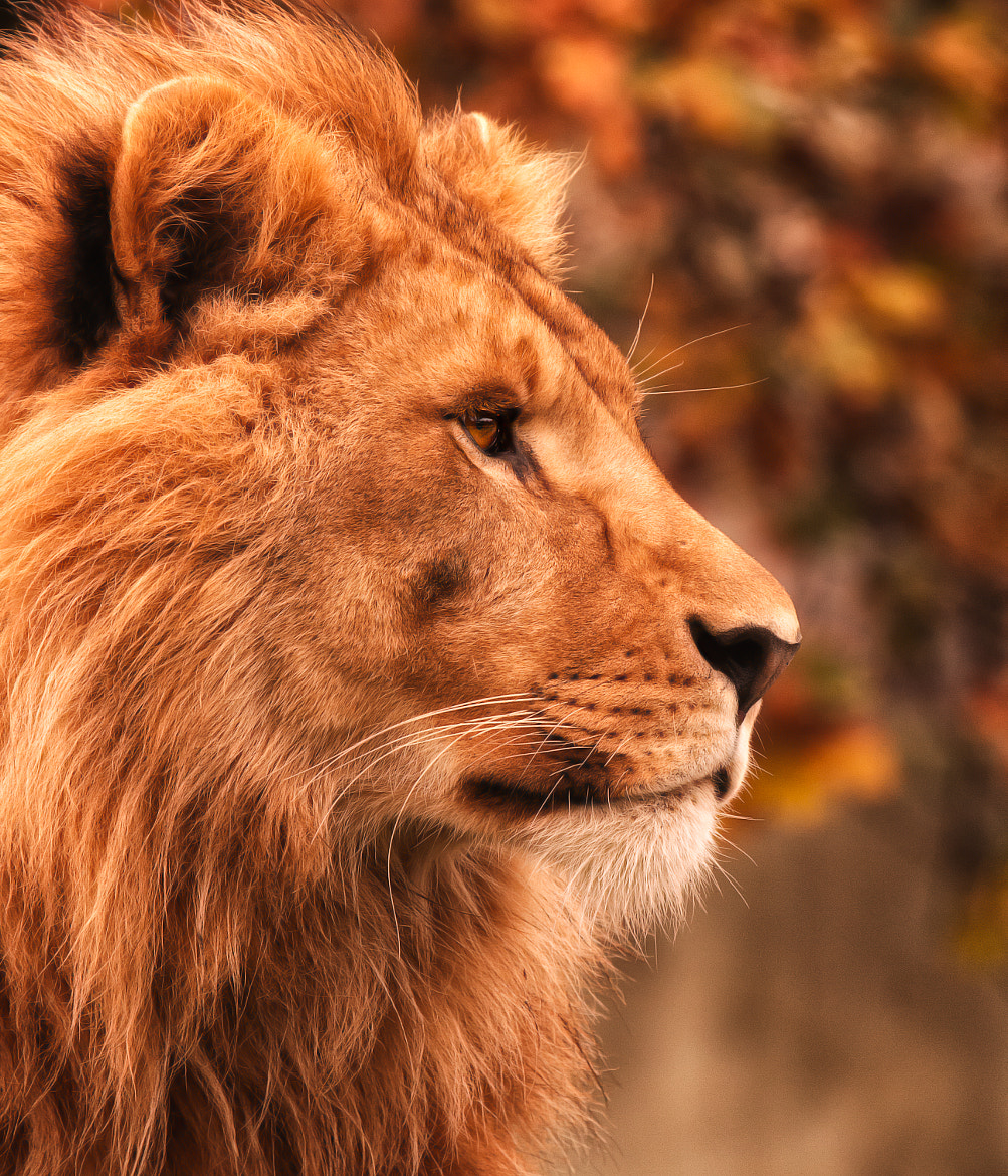 Photograph Lion by Denis Van Linden on 500px