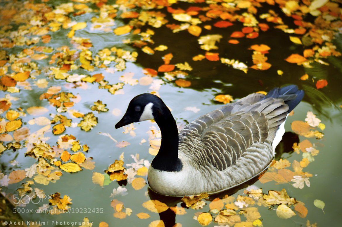 Photograph Canadian Goose by Adel Karimi on 500px