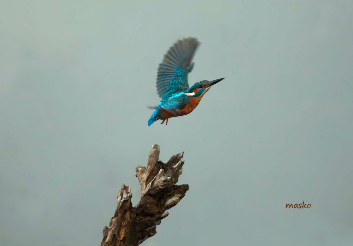 Photograph Alcedo atthis by Manolis Skordos on 500px