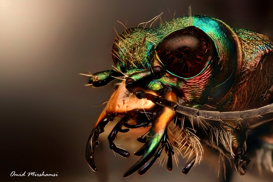 Photograph Tiger beetle by Omid Mirshamsi on 500px