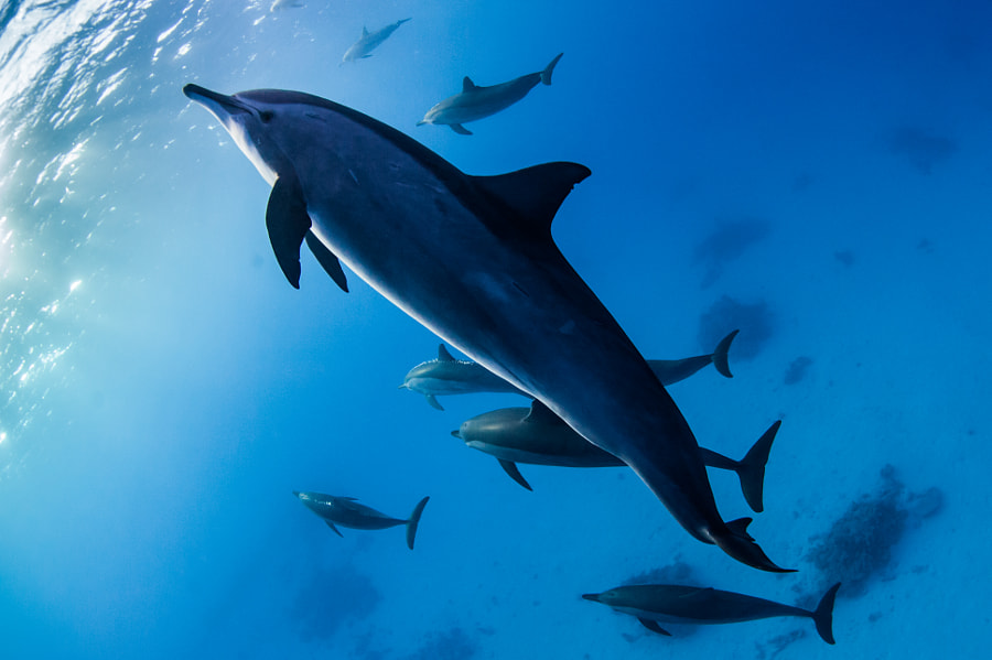 Spinner Dolphin Silhouette at Sataya