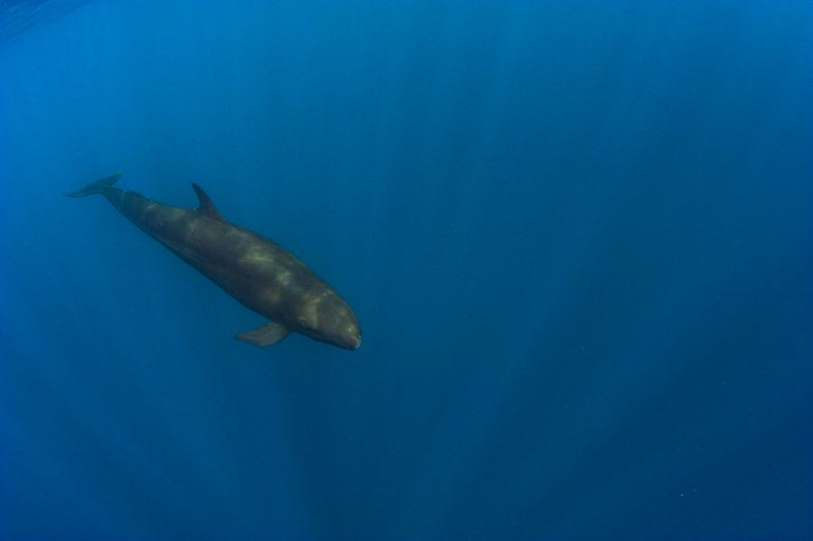 False Killer Whale at Galapagos