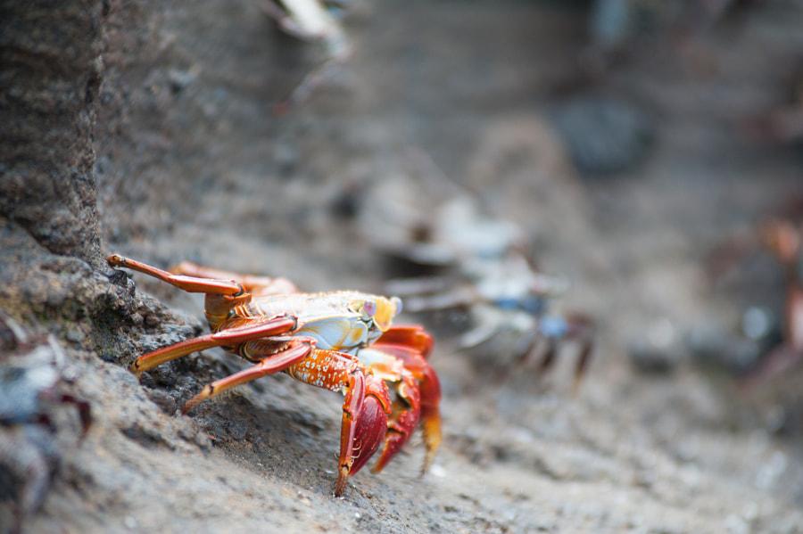 Red Rock Crab at Isabela island in Galapagos