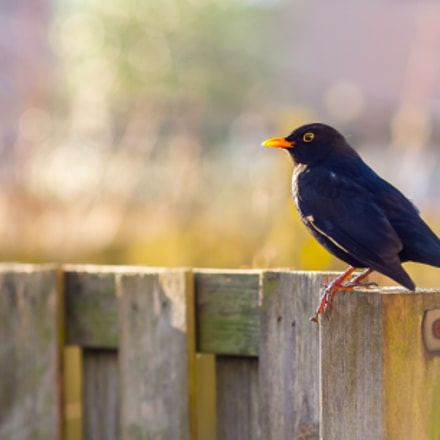 Blackbird., Canon EOS 5D, Canon EF 135mm f/2.8 Soft