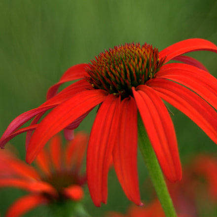 Red Coneflower, Nikon D3000, Sigma 28-90mm F3.5-5.6 Macro
