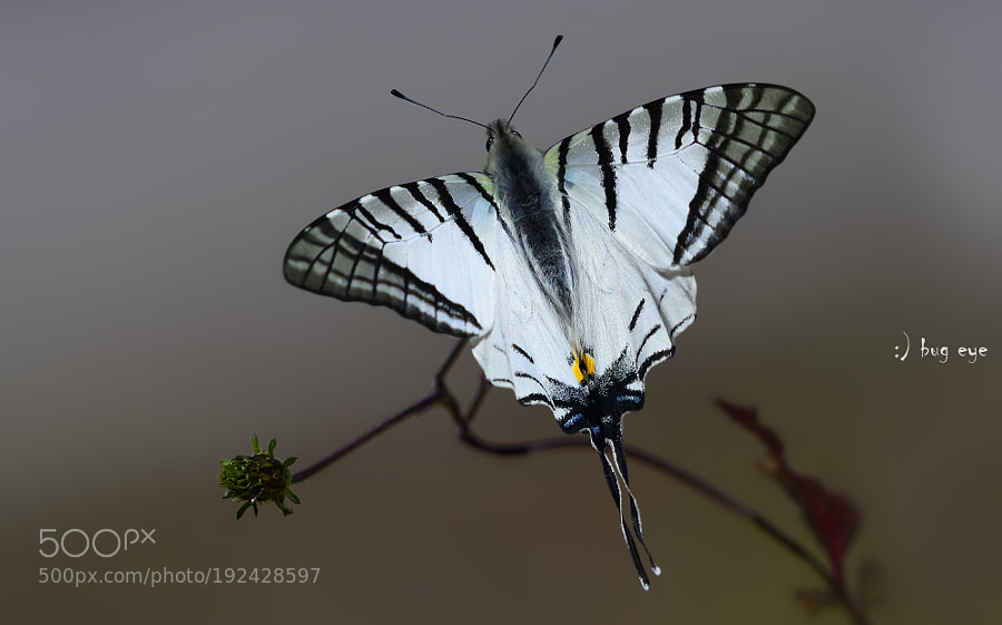The Spectacle Swordtail