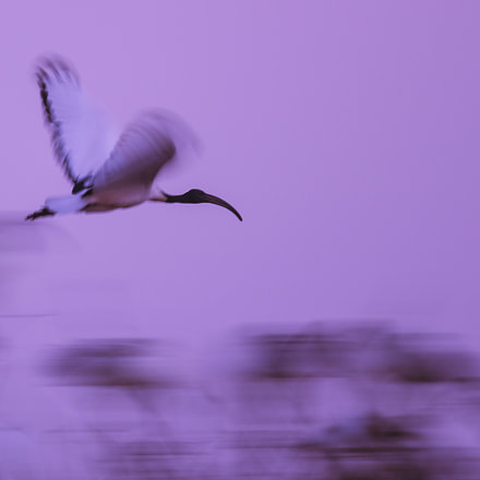 African sacred ibis, Canon EOS-1D X, Canon EF 600mm f/4L IS + 1.4x