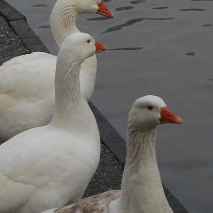 Gaggle of geese, Nikon COOLPIX S3400
