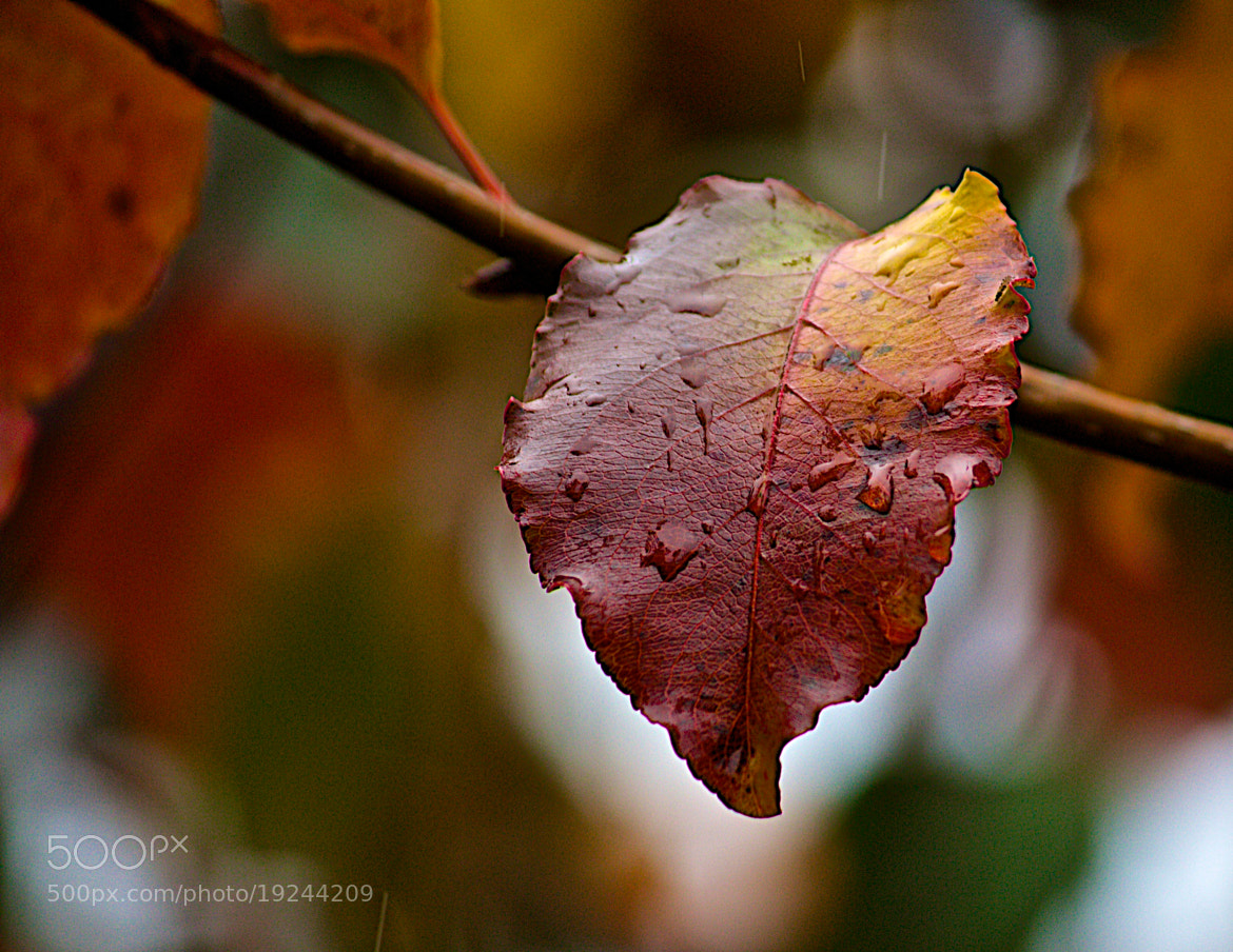 Photograph Plum Leaf in the Rain by James Groce on 500px