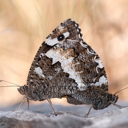 Great Banded Grayling, Sony DSLR-A900, Sigma 180mm F3.5 EX DG Macro