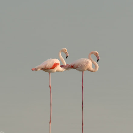 A pair of flamingo, Sony SLT-A99, 150-600mm F5-6.3 SSM