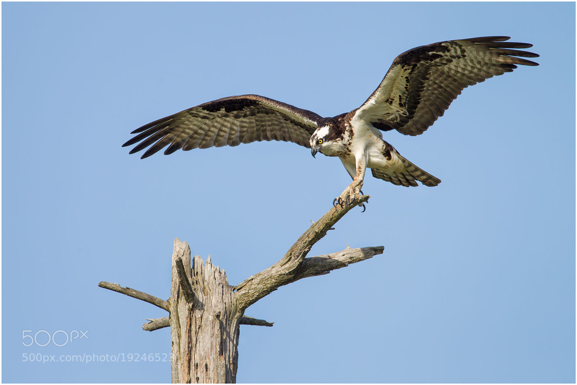 Photograph Osprey by Pierre Giard on 500px