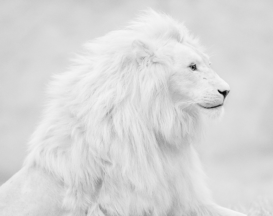 Photograph White lion by shlomi nissim on 500px