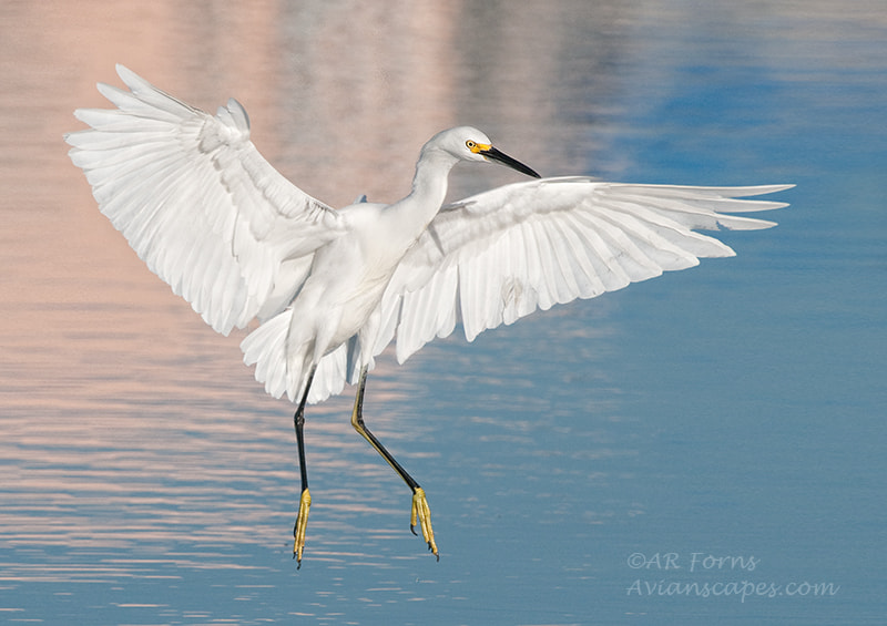 Photograph Landing egret by Alfred Forns on 500px