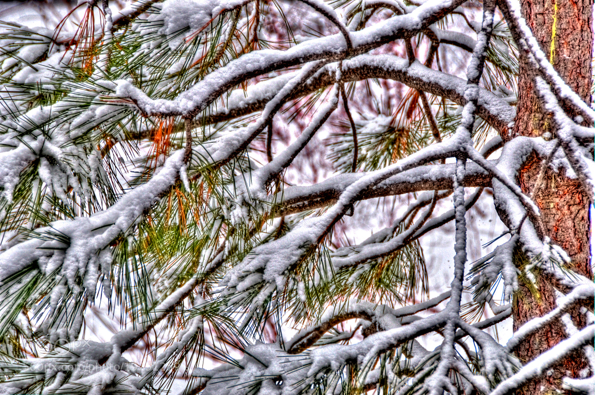 Photograph Snowy Pine Boughs by David Ryan on 500px