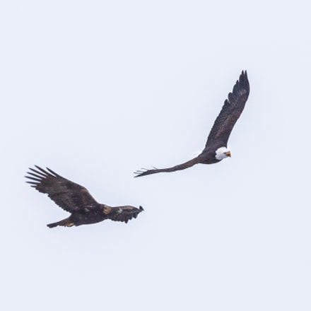 Eagle pair, Canon EOS 6D, Canon EF 400mm f/4 DO IS II USM